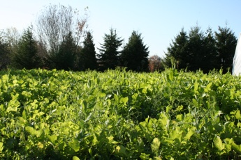 Oilseed Radish and Field Pea Cover -5 weeks