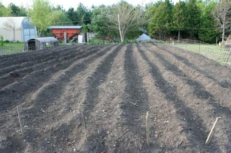 720 row feet of potatoes