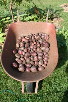 30#'s of spuds from 10 plants!!!