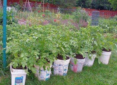 potato buckets