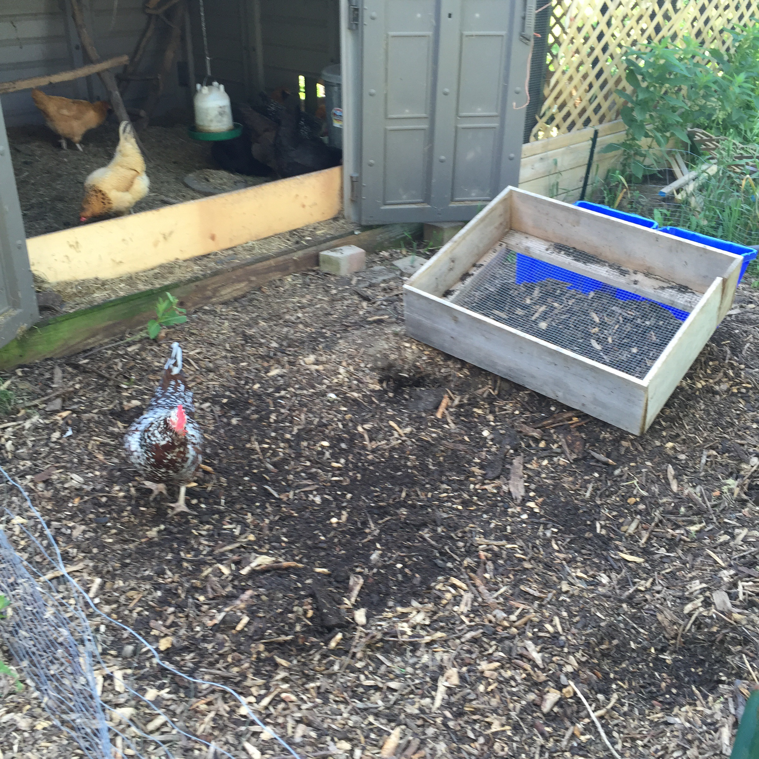 backyard chickens ramial woodchip composting one straw be the